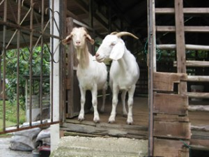 Goat Pairs